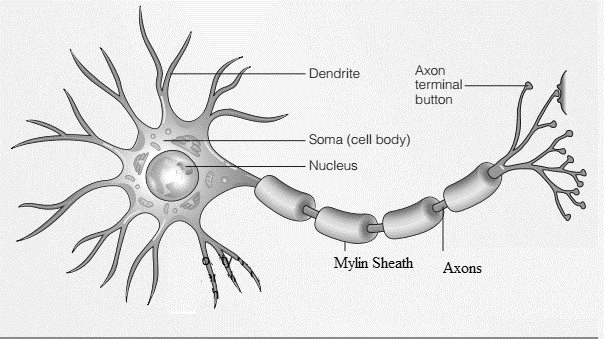 Neural Structure And Function